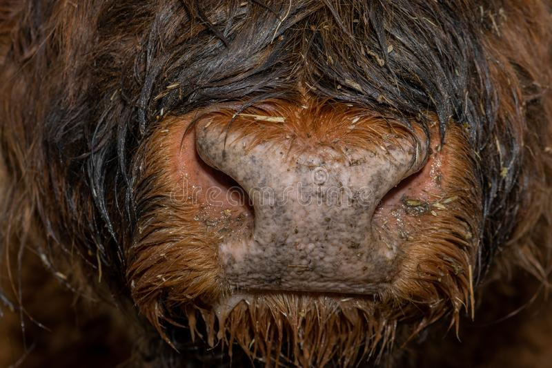 Wet and hairy highland cattle nose stock photos