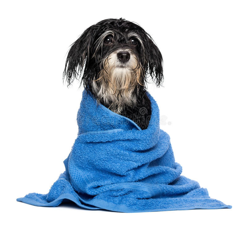 Free Wet Havanese Puppy Dog After Bath Is Dressed In A Blue Towel Stock Images - 33823894