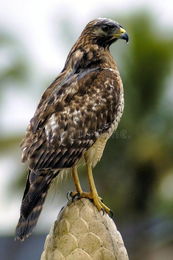 Wet Hawk royalty free stock images