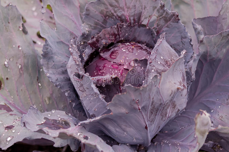 Wet homegrown Red drumhead cabbage, organic vegetable in garden royalty free stock photo