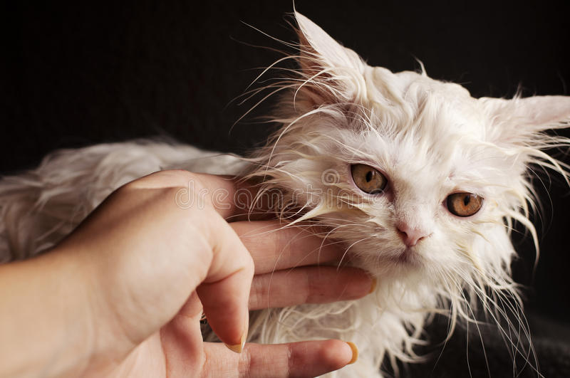 Download Wet kitten stock photo. Image of kitty, adorable, persian - 32209522