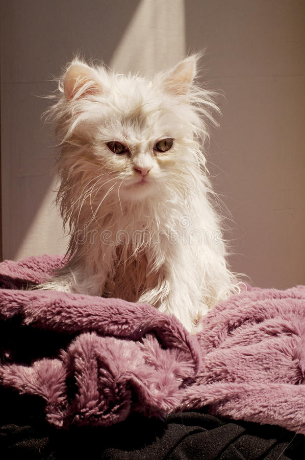 Download Wet kitten stock image. Image of animal, kitten, persian - 32229483