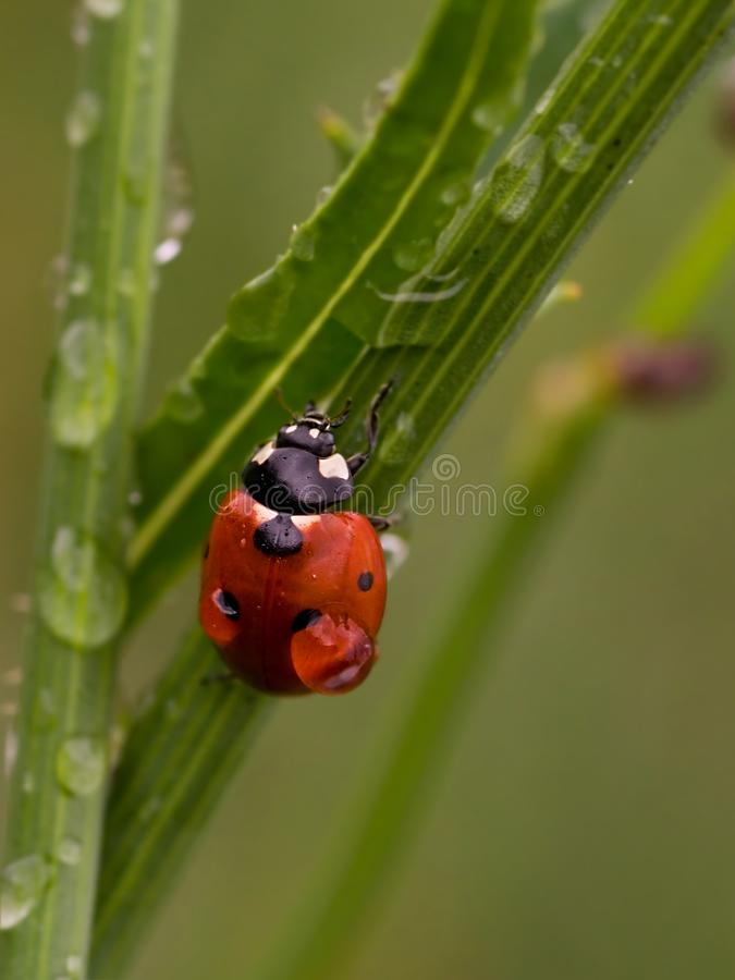 Wet ladybug royalty free stock images