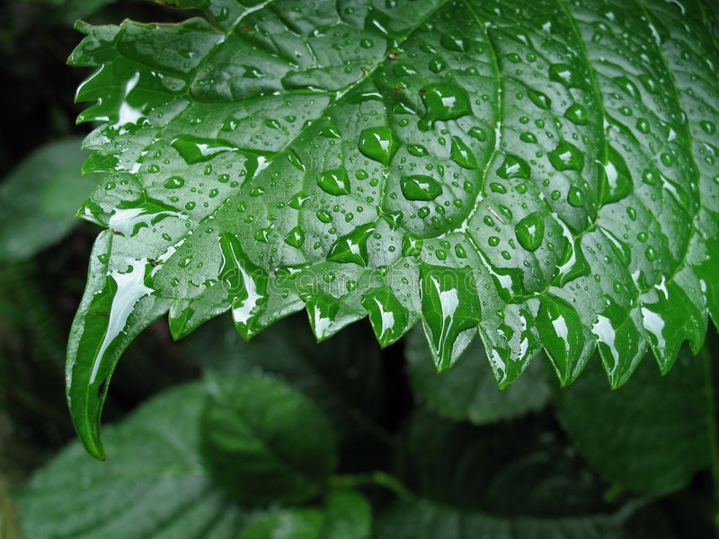 Wet Leaf 2 stock photography