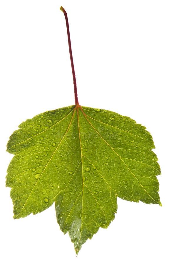 Download Wet Leaf Stock Images - Image: 20865544