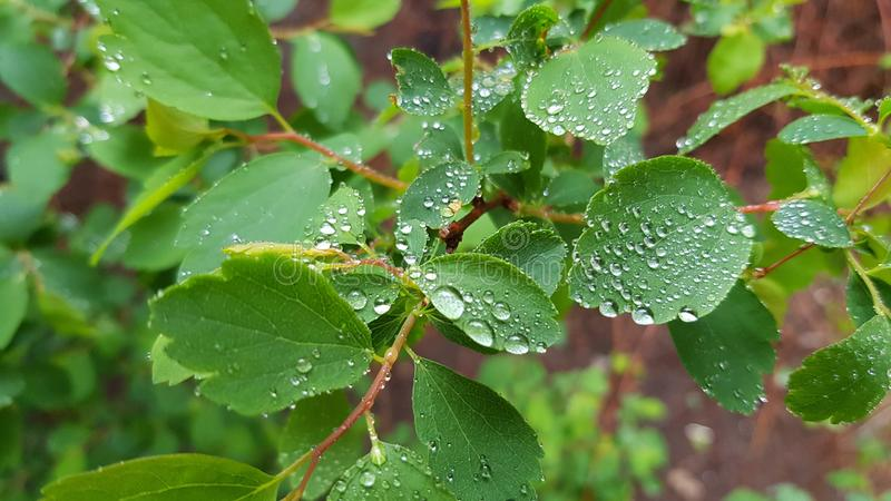 Wet leaf closeup with shiny water droplets look like small brilliant beads stock photography