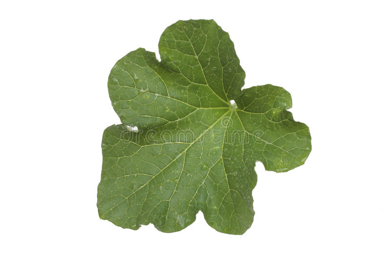 A wet leaf of the cucumber. Plant over white stock images