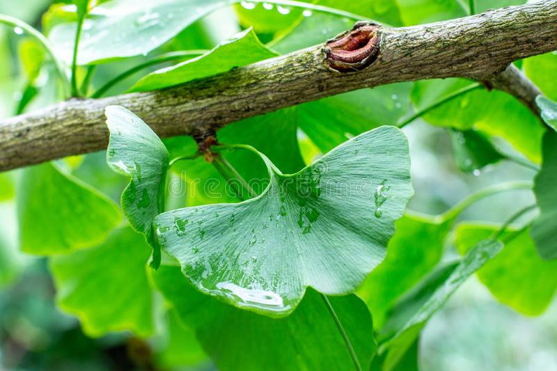 Wet leaf of a ginkgo biloba tree with raindrops, sunny fresh bright green foliage of a ginkgo tree. A popular plant in Chinese royalty free stock image