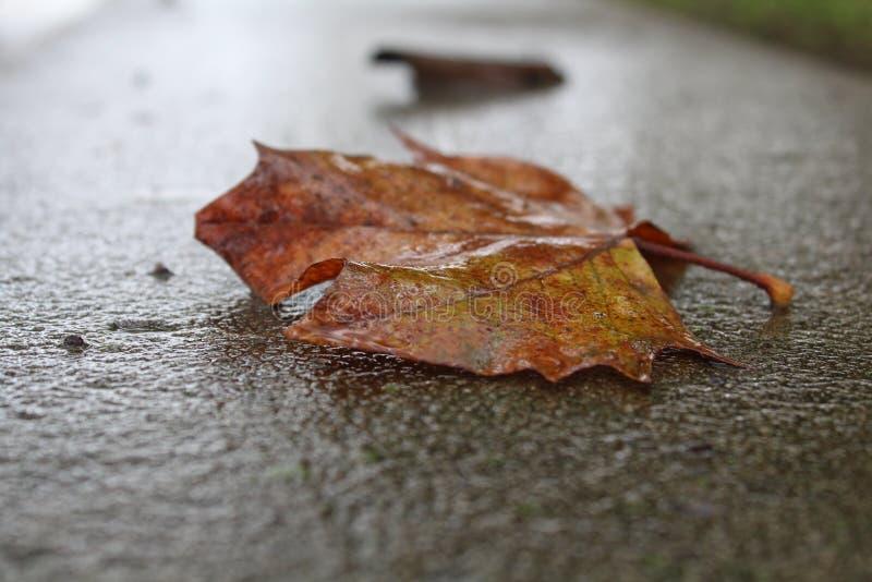Wet Leave on Ground Rainy Weather Philadelphia. Wet leave on ground, rainy day, philadelphia, nature photos, brown leaf, rainy weather, autumn weather royalty free stock photography