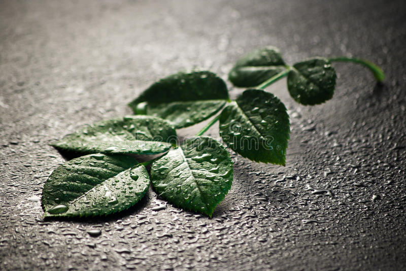 Download Wet leaves stock photo. Image of leaf, close, spring - 16429512