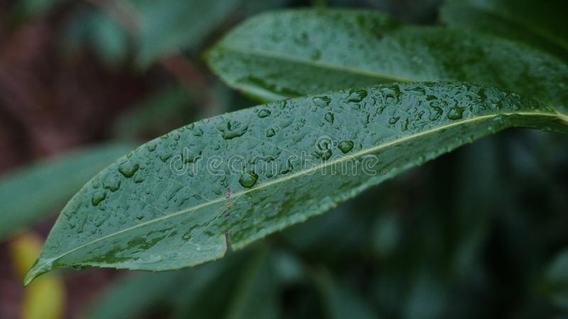 Wet leaves. stock photography