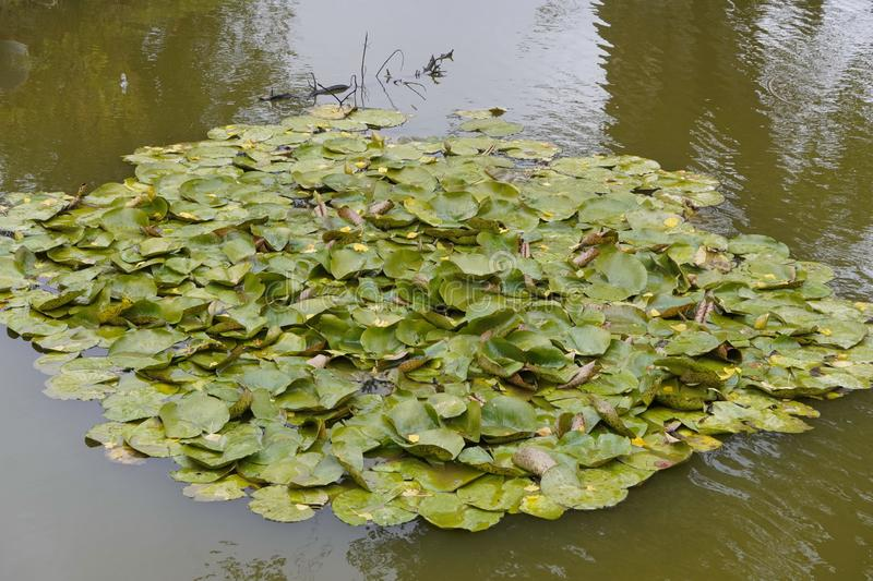 Wet leaves of water lilies lie in dark green water, fallen leaves from trees lie on top, cloudy autumn weather. the change of. Wet leaves of water lilies lie in stock photography