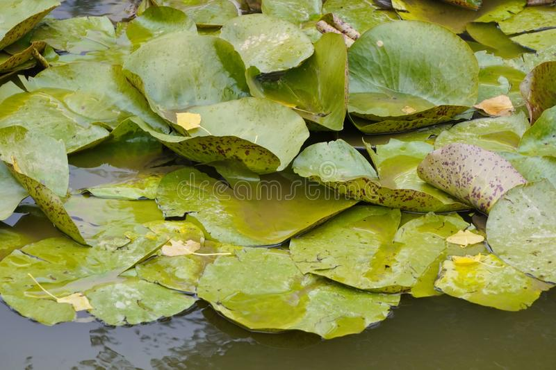 Wet leaves of water lilies lie in dark green water, fallen leaves from trees lie on top, cloudy autumn weather. the change of. Wet leaves of water lilies lie in stock images