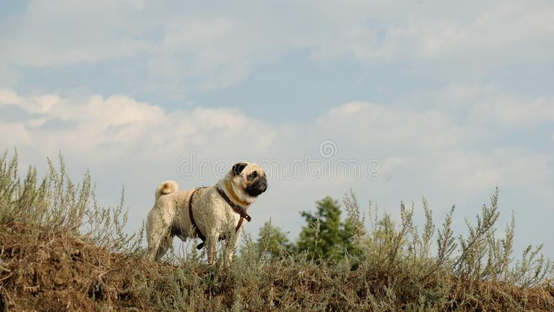 The wet little dog is a pug of Confucius, looking distant, against the background of a blue sky. The wet little dog is a pug Konfuciy, looking distant, against royalty free stock photo
