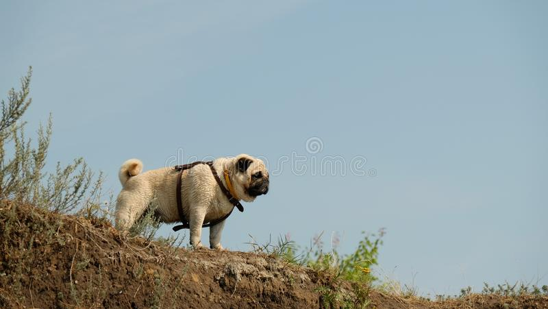 The wet little dog is a pug of Confucius, looking distant, against the background of a blue sky. The wet little dog is a pug Konfuciy, looking distant, against royalty free stock images