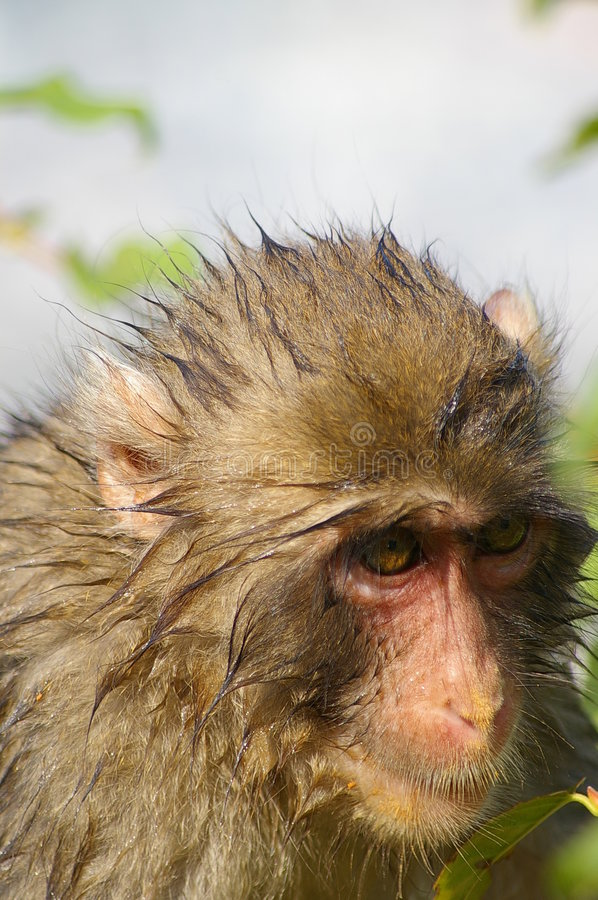 Download Wet macaque stock image. Image of furry, hair, monkey, cute - 251153