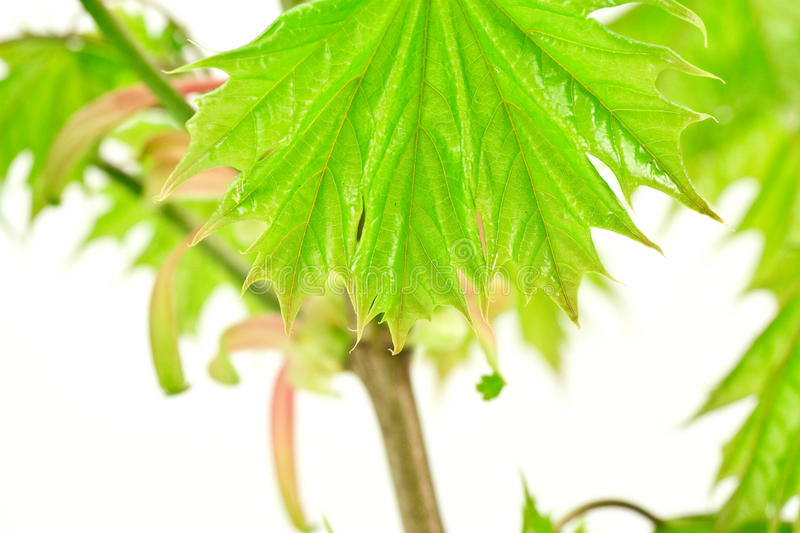 Download Wet maple leaves stock image. Image of summer, clean - 14320199