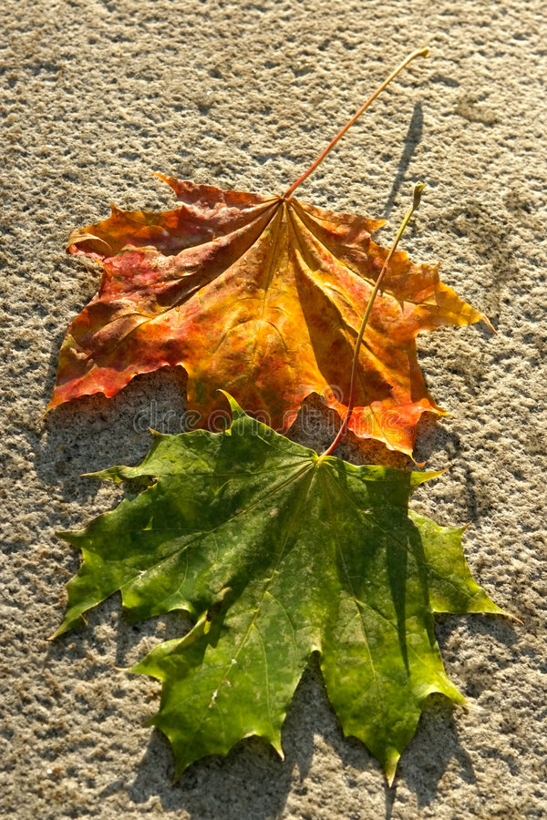Download Wet Maple Leaves Royalty Free Stock Photo - Image: 544315