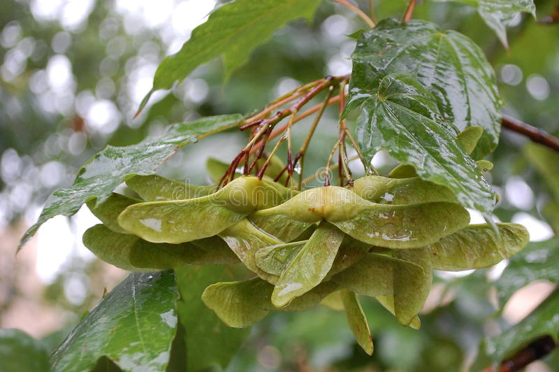 Wet Maple Seeds Royalty Free Stock Photography