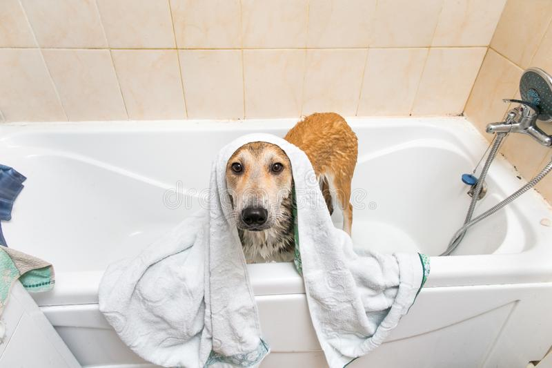 Wet mongrel dog after standing in bath. Portrati of a cute mixed breed dog after bath standing in white towel looking at camera royalty free stock image