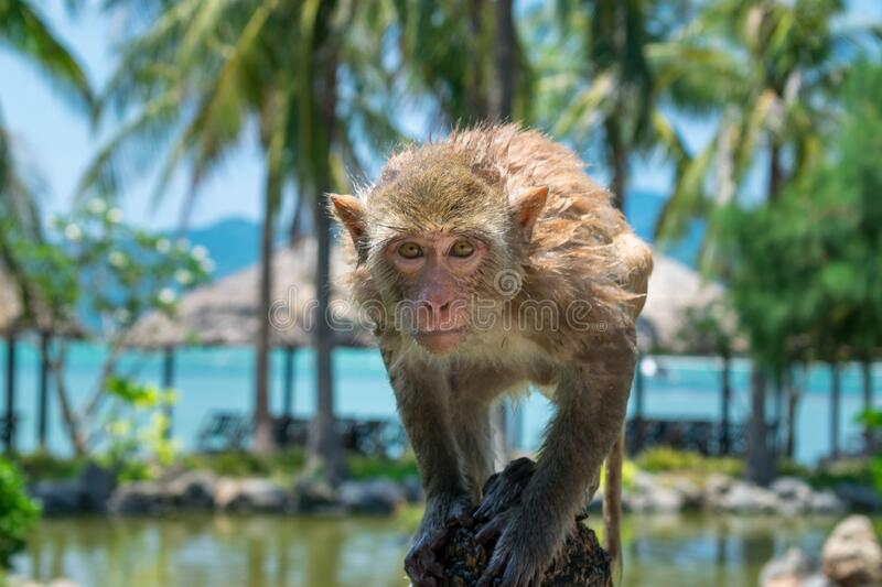 A wet monkey with big eyes looks at camera in a park in the tropics. A wet monkey with big eyes looks at the camera in a park in the tropics stock image