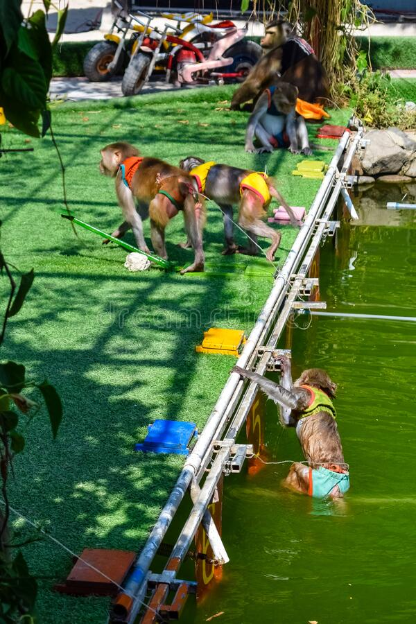 Wet monkeys crawl out of the pool after competitions in the tropics. Wet monkeys crawl out of pool after competitions in the tropics stock image