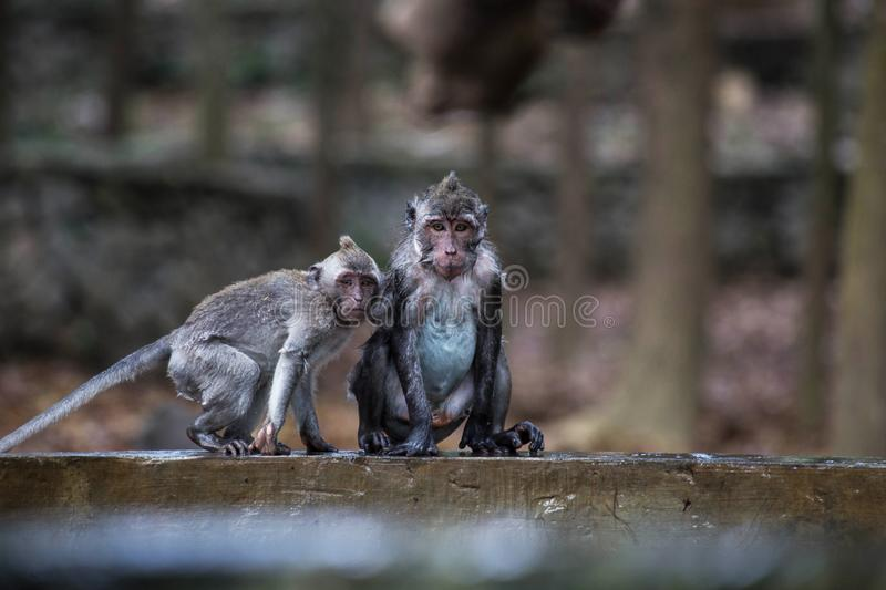 The wet naughty mischievous monkey is playing on the pool in the Jungle. Close-up wildlife stock image
