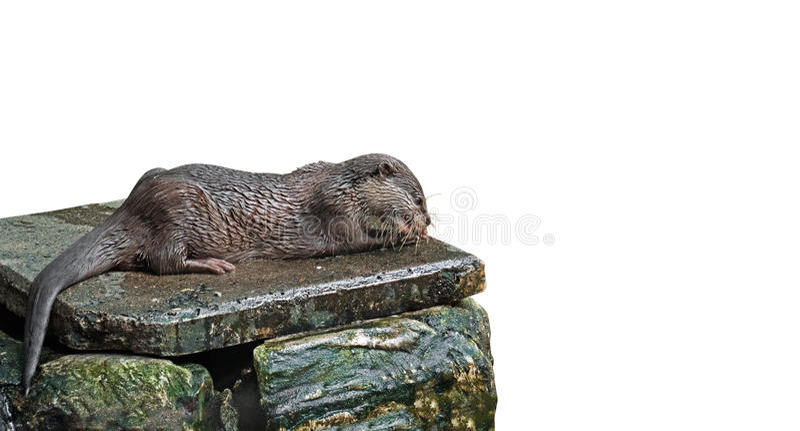 Wet Otter Eating Fish on White Background stock photos