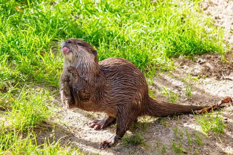 A wet otter sticking out his tongue in animal park Wildlands, Emmen, Netherlands.  royalty free stock photography
