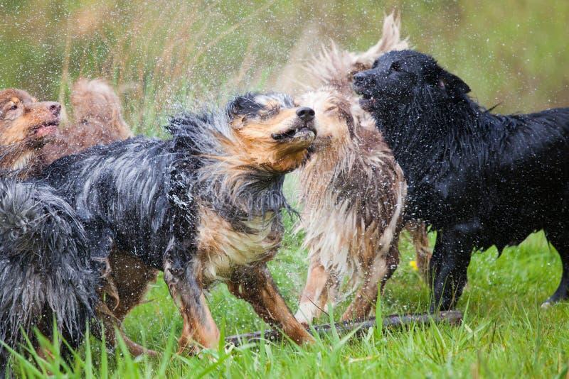 Download Wet Pack Of Australian Shepherds Stock Photography - Image: 30730252