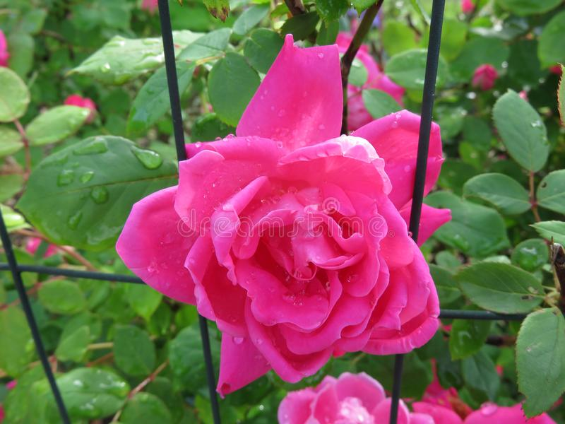 Wet Pink Rose in May royalty free stock photos