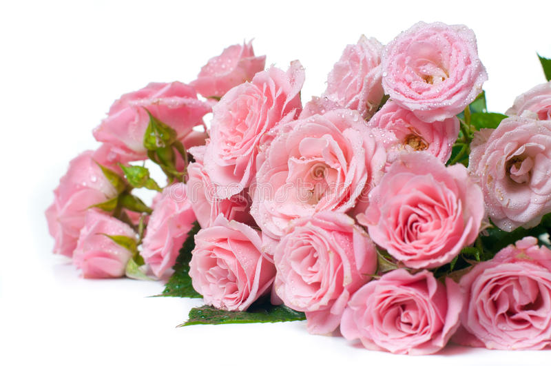 Download Wet Pink Roses On A White Background Stock Photo - Image: 23952560