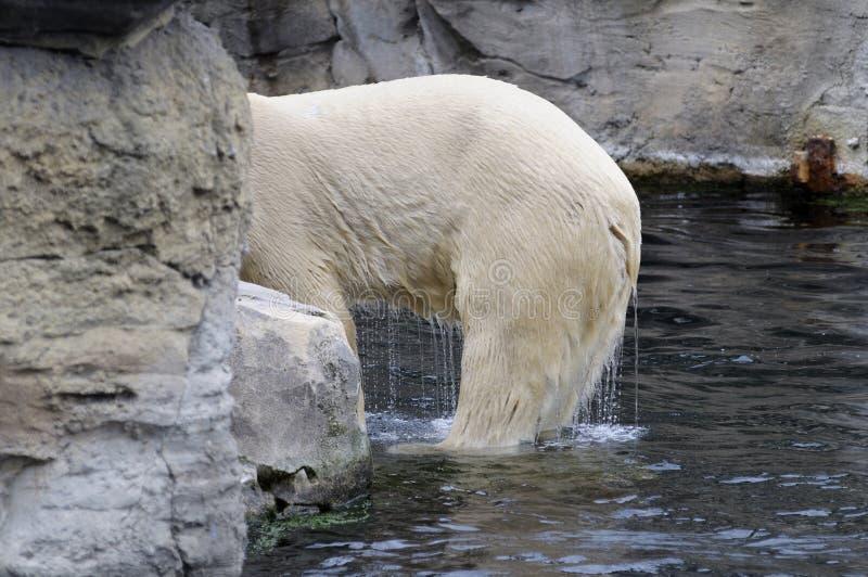 Download Wet polar bear stock image. Image of animal, danger, color - 23301517