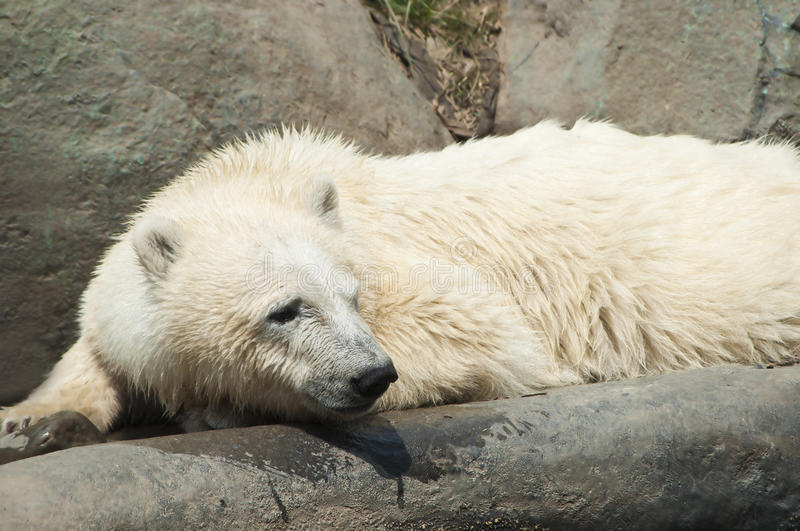 Download Wet polar bear stock image. Image of carnivorous, tourism - 25665589