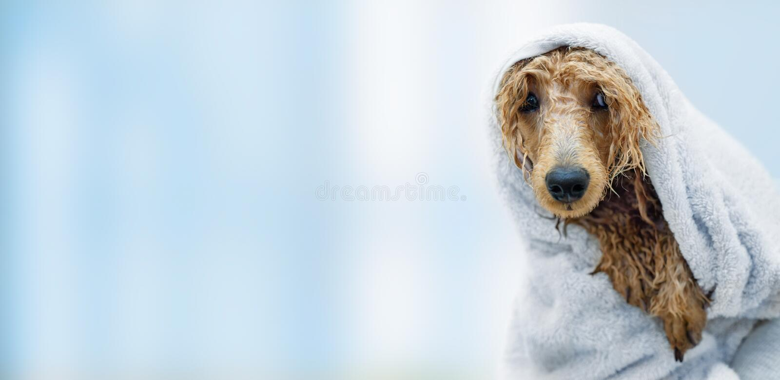 Wet poodle dog after the bath with a towel . Background and copy space royalty free stock image