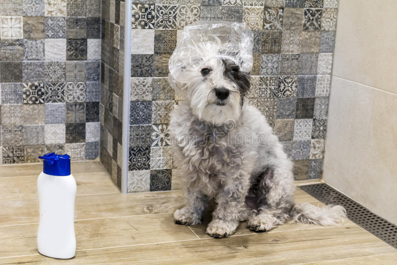 Wet poodle dog taking a bath. Poodle dog taking a bath with hat bath royalty free stock images