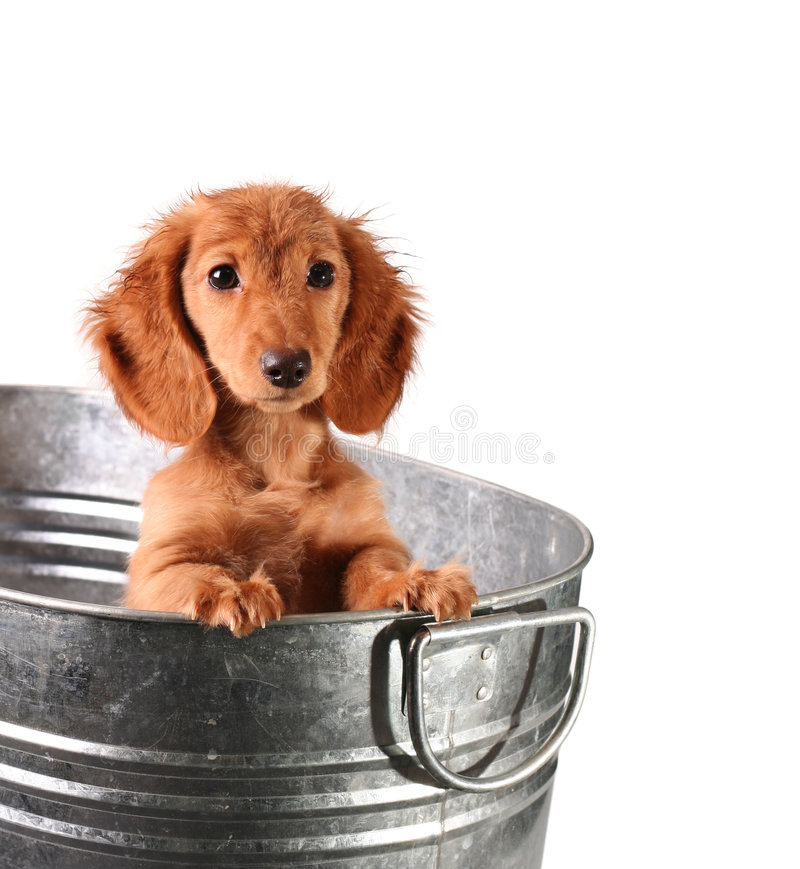 Wet puppy. In a bucket