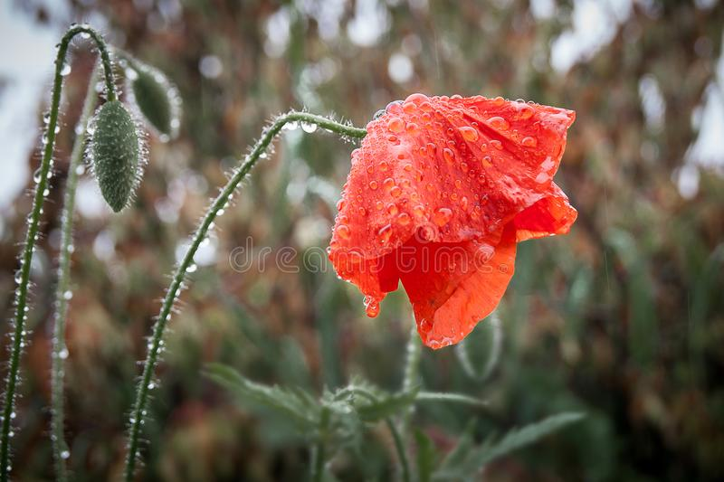 Wet from the rain poppy flower bowed the head, symbolizes sadnes. S royalty free stock photo