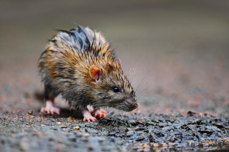 Download Wet rat stock photo. Image of moisture, rattus, muroid - 29977946
