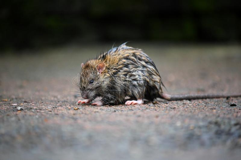 A wet rat on the ground after a rainy night. Tired stock photography