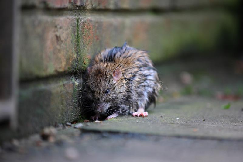 A wet rat on the ground after a rainy night. A wet rat on the ground by the wall after a rainy night stock photo