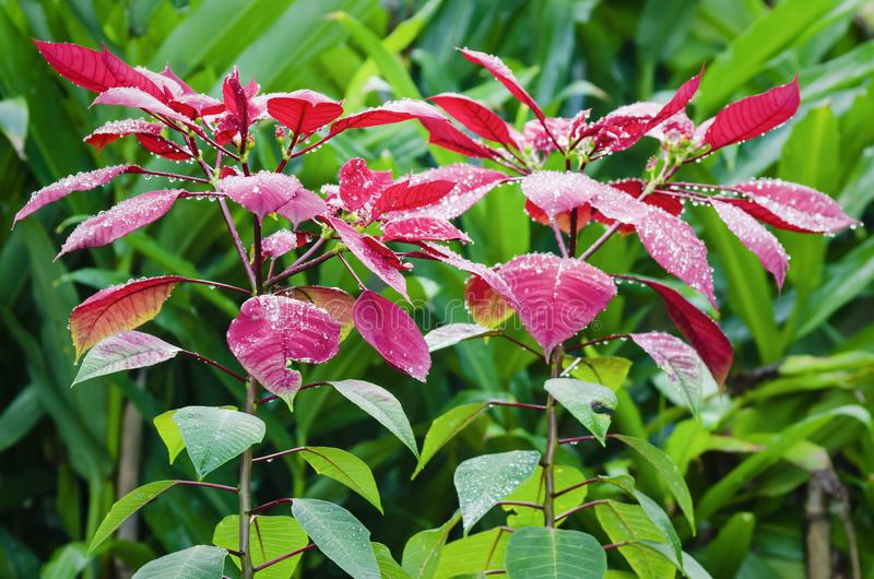 Wet Poinsettia royalty free stock photo