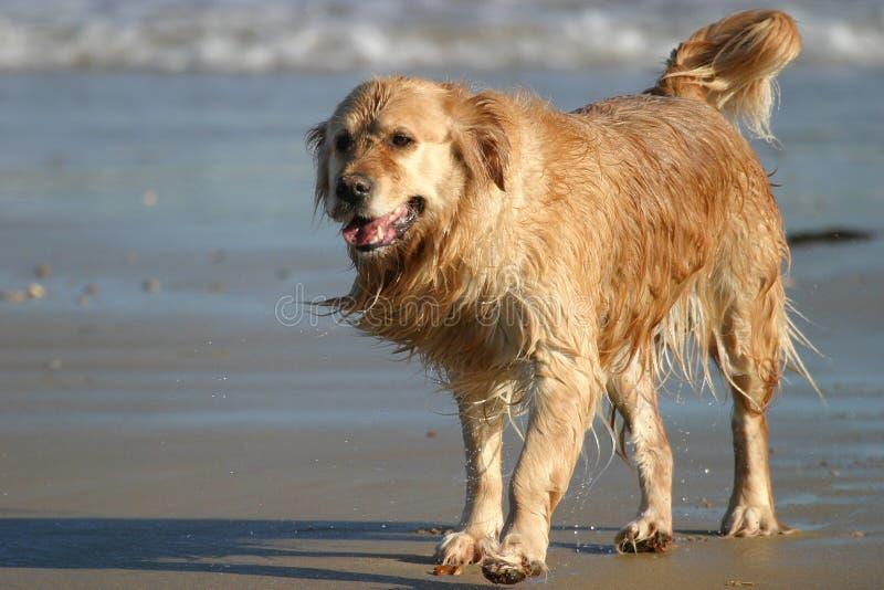 Wet Retriever stock photo