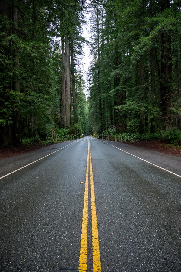 Wet Road Cuts Through Redwood Forest. In Yosemite valley royalty free stock photo