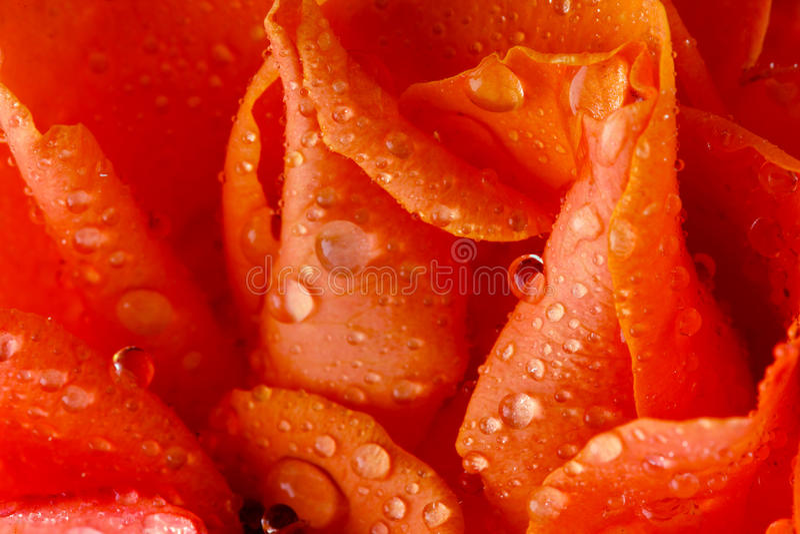 Download Wet Rose Stock Image - Image: 13707251