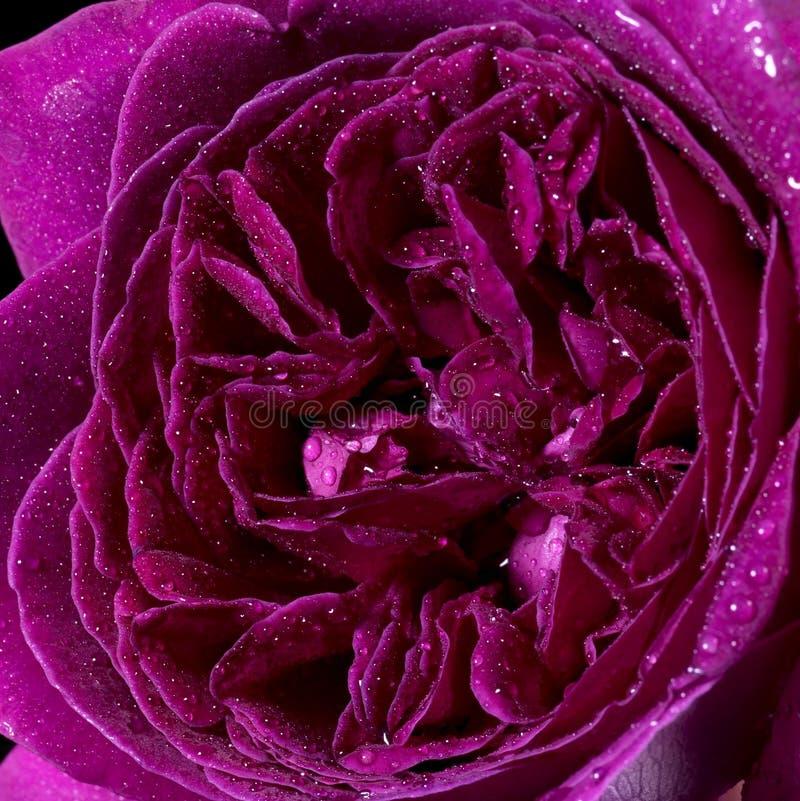 Download Wet rose flower closeup stock photo. Image of flowering - 27632644