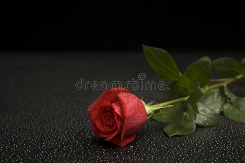 Wet Rose Series royalty free stock photography