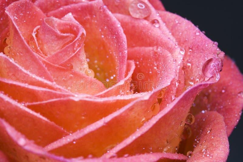Wet Rosebud Stock Images