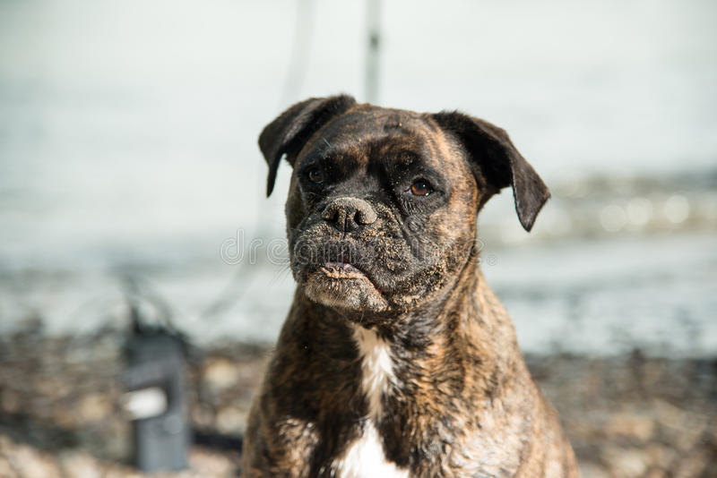 Wet sandy boxer dog at the beach royalty free stock photo