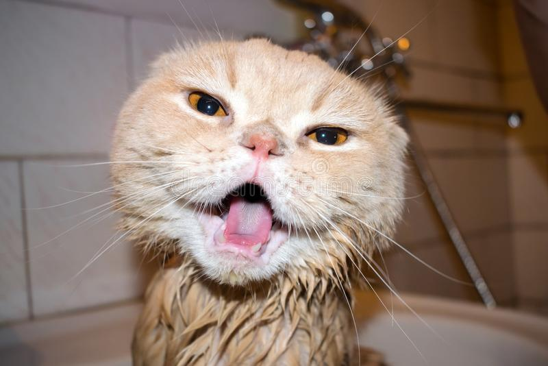 Wet Scottish Fold cat during bathing. Funny cream cat with folded ears screams sitting in the bathroom. Domestic Cat bath royalty free stock photography